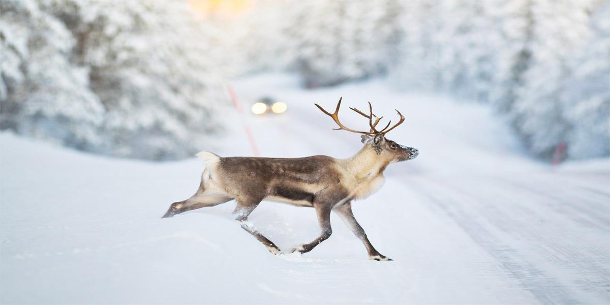 deer crossing snowy road with car coming