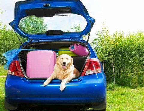 blue hatchback with several suitcases and a golden retriever in the trunk
